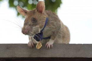 Viral: Condecoraron con una medalla de oro a una rata por salvar vidas detectando minas terrestres