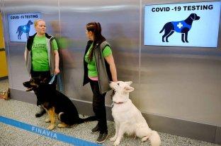 Perros entrenados pueden detectar Covid en 10 segundos y casi sin margen de error