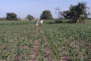 Siembra tardía: evalúan estrategias para multiplicar los rindes de maíz