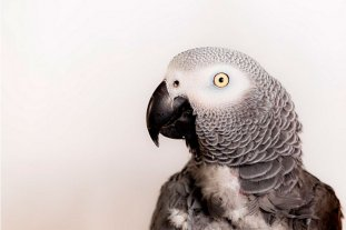 Insólito: separaron a cinco loros por insultar a los visitantes en un zoo del Reino Unido