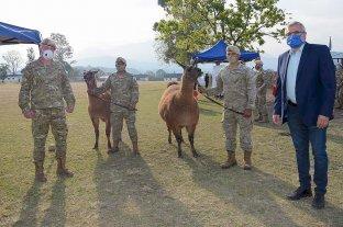 Jujuy donó 20 llamas al Ejército Argentino