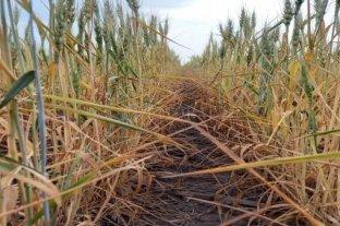 El trigo continúa desmejorando por la falta de humedad