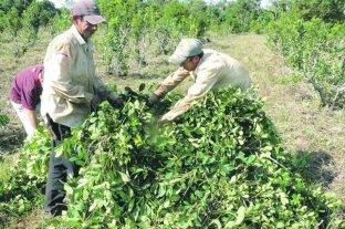 Corrientes podría demandar a Nación por resolución que limita la producción de yerba mate