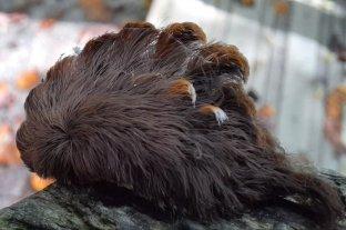 Reportan casos de picadura de oruga gato lanudo en lugares donde no era endémica