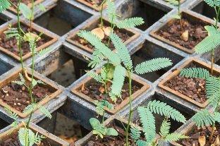Destinarán cerca de un millón de plantines de algarrobo para recuperar áreas quemadas en Santa Fe y Córdoba