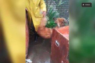 Video: tras la tormenta apareció un Aguará Guazú en Santa Fe -