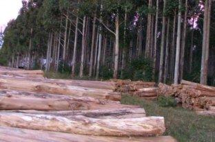 Misiones forestó en una década más de 21 mil hectáreas con eucaliptus