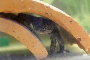 Chile: nacen en cautiverio 200 crías de una rana en peligro de extinción