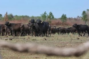 """Un emprendedor cordobés busca producir """"lácteos de búfalo"""" en Corrientes"""