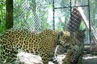 Reúnen a dos yaguaretés en El Impenetrable chaqueño para preservar la especie