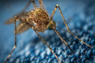 Encuentran por primera vez mosquitos comunes en la Antártida