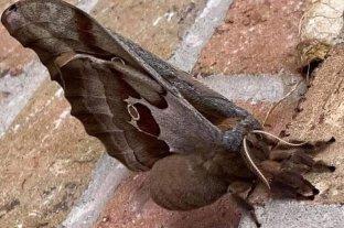 """""""Tarántulas con alas"""" conmocionan a mexicanos y estadounidenses - Antheraea polyphemus"""