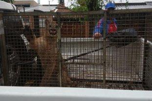 Un puma suelto en Esperanza -