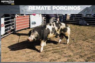 173.000 pesos por un reproductor porcino