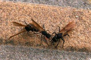 """Las masiva aparición de hormigas voladoras  en """"vuelo nupcial"""" no debe preocupar a nadie - Variedad. Las hormigas voladoras suelen aparecer en primavera, luego de lluvias abundantes. -"""