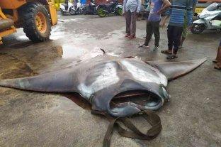 Impresionante hallazgo: pescó una mantarraya de más de 750 kilos y contrató una grúa para llevársela