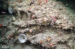 """Descubrieron un arrecife de coral """"saludable"""" del tamaño del Empire State"""