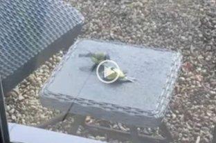 Video viral: un pajarito revivió a otro que había chocado contra un vidrio