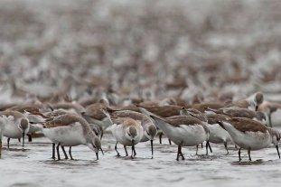 Oficializan la creación de un Plan Nacional para la Conservación de las Aves Playeras