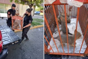 Rescataron a seis cachorros de zorro gris en Funes