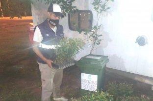 Decomisan y destruyen plantines de eucaliptus