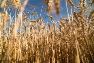 Aapresid apoyó el desarrollo del trigo HB4