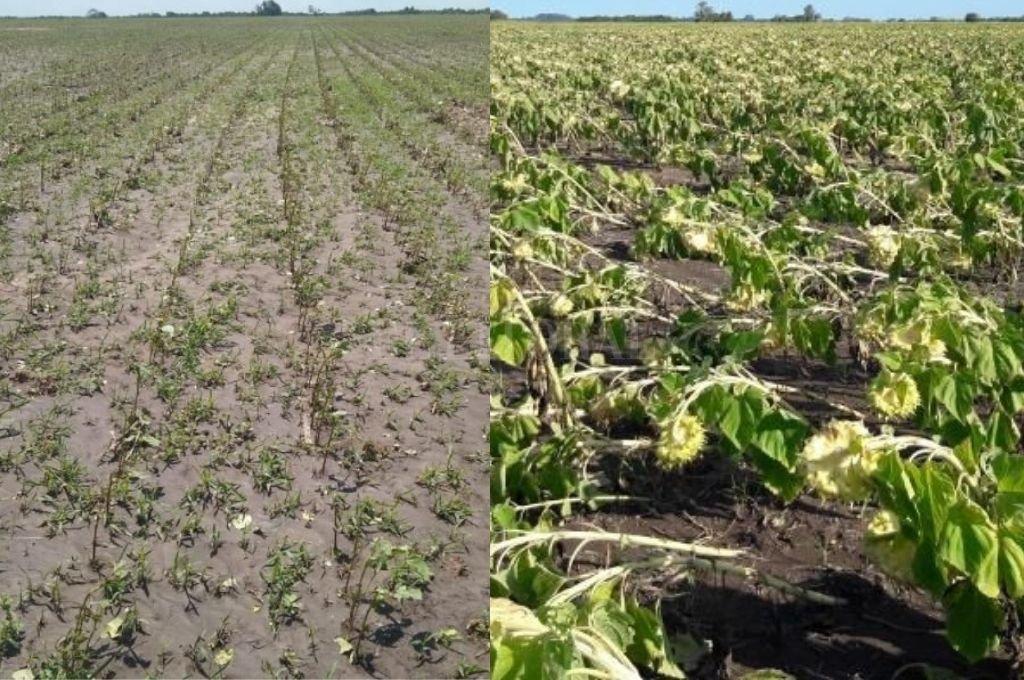 Lote de algodón con destrucción total del cultivo y lote de Girasol con caída de plantas en el sureste del departamento General Obligado.