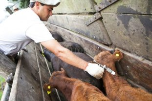Se prorrogó nuevamente la vacunación antiaftosa para las provincias afectadas por la sequía
