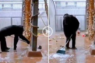 Video: chimpancé encontró una escoba y se puso a limpiar su jaula