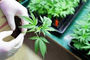 "Chubut aprobó ""Programa de Cultivo y Producción de Cannabis"" para uso terapéutico"