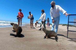 Lobos marinos regresaron al mar tras ser rescatados en la costa argentina