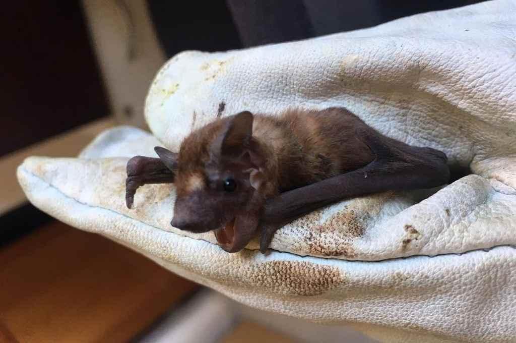 Los murciélagos toleran altas cargas virales sin enfermarse, por eso se los considera potenciales transmisores de enfermedades.   Crédito: Gentileza Romina Pavé