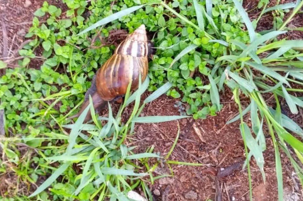 Aparecen caracoles que se destacan por ser peligrosos