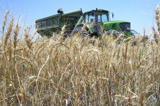 Terminó la campaña fina y se recolectaron 17 millones de toneladas de trigo