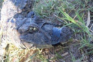 Corrientes: murió extrañamente el yacaré que se habría comido un caniche