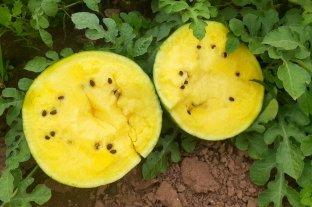Jujuy: sandía amarilla, nuevo fruto producido en Palma Sola