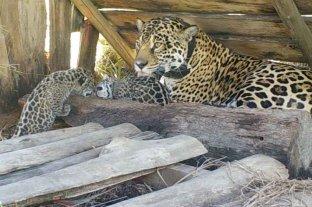 Nacieron dos cachorros de yaguareté y son la tercera camada nativa del Iberá -  -