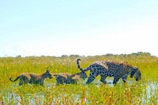 Corrientes: los yaguaretés volvieron a andar libres tras 70 años