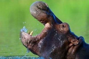 Colombia: expertos recomiendan sacrificar a los narco - hipopótamos de Pablo Escobar