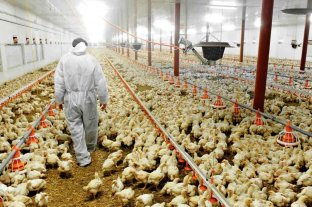 Productores avícolas alertan sobre despidos si no les permiten actualizar los precios