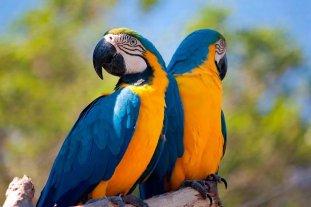 Nacieron dos guacamayos de una especie en peligro de extinción en el Bioparque platense
