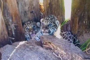 Invitan a votar para nombrar a los yaguaretés recién nacidos en Iberá