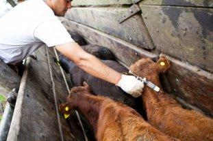 Vacunaron contra la aftosa a casi 2 millones y medio de cabezas de ganado en Corrientes