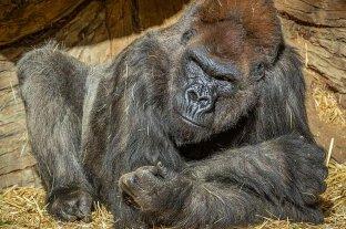 Un gorila tratado con anticuerpos sintéticos superó su caso grave de Covid-19