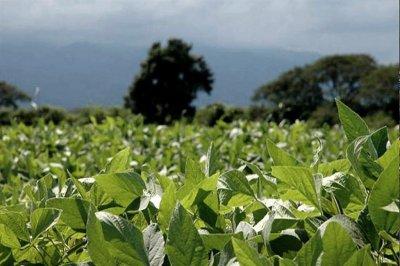 Prevén baja de 25% en la producción de soja en Entre Ríos