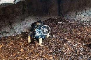 """Una tortuga se hizo viral en redes sociales por su """"baile de la lluvia"""""""