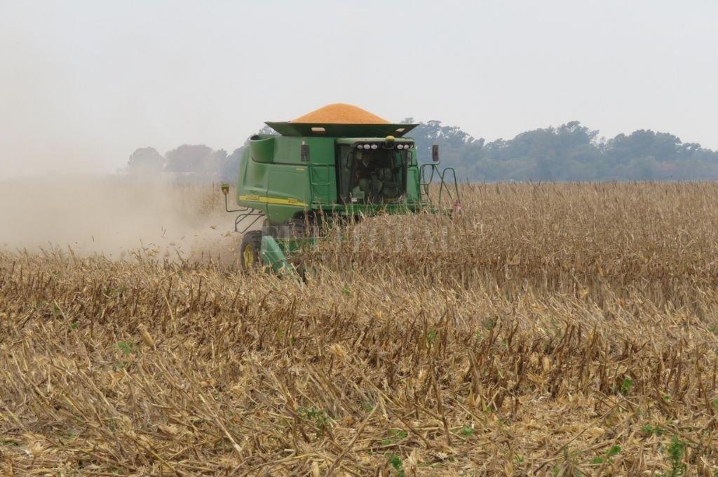 La cosecha de maíz para gran comercial apenas se inicia y confirma el impacto de la falta de agua.   Crédito: Archivo