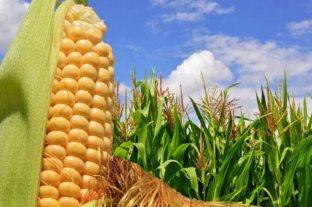 El precio del maíz subió US$ 5 en Rosario y cerró a US$ 193 la tonelada