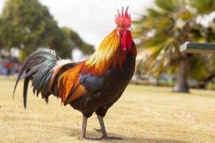 Insólito: fue multado con $ 40 mil por los ruidos que hace su gallo