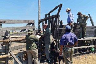 """Investigan abigeato a gran escala al mayor terrateniente de la provincia - Efectivos de la Dirección General de Seguridad Rural """"Los Pumas"""" recuperaron 150 animales en campos de un conocido abogado verense."""